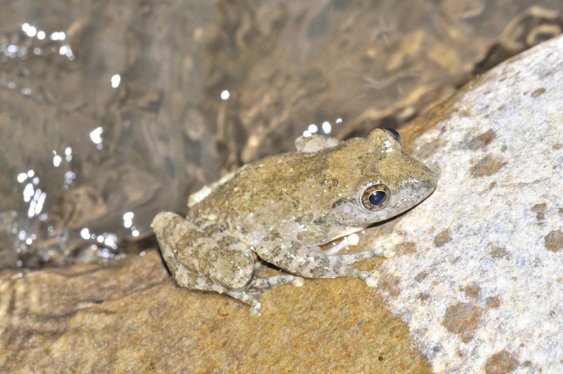 カジカガエル:石休場の渓流で見られる。指先に吸盤を備え、河川の石にしがみ付くことが出来る。急流の中でも生活出来るよう、遊泳力は強い。