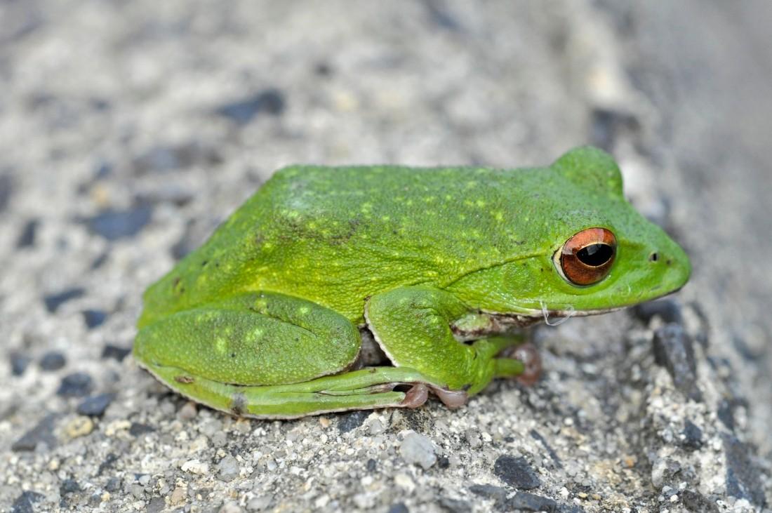 モリアオガエル:手に吸盤を持ち、樹上生活をするカエル。石川県内では広く見られる。能登では、繁殖期となる5~7月に水域に現れて盛んに鳴き始め、時に日中でも産卵を見ることが出来る。シュレーゲルアオガエルに酷似しており、虹彩の色(モリアオは赤、シュレーゲルは黄色)、肌(モリアオは粗い、シュレーゲルは滑らか)で見分け可能だが不慣れだと見分けは難しい。