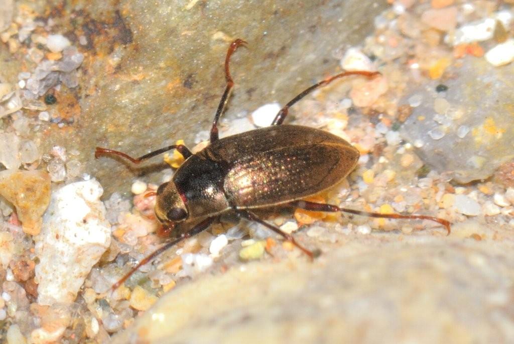 ムナビロツヤドロムシ:体長3.7mm、河川に生息。ドロムシ類としては見つかりやすい。石休場の渓流に棲息する。