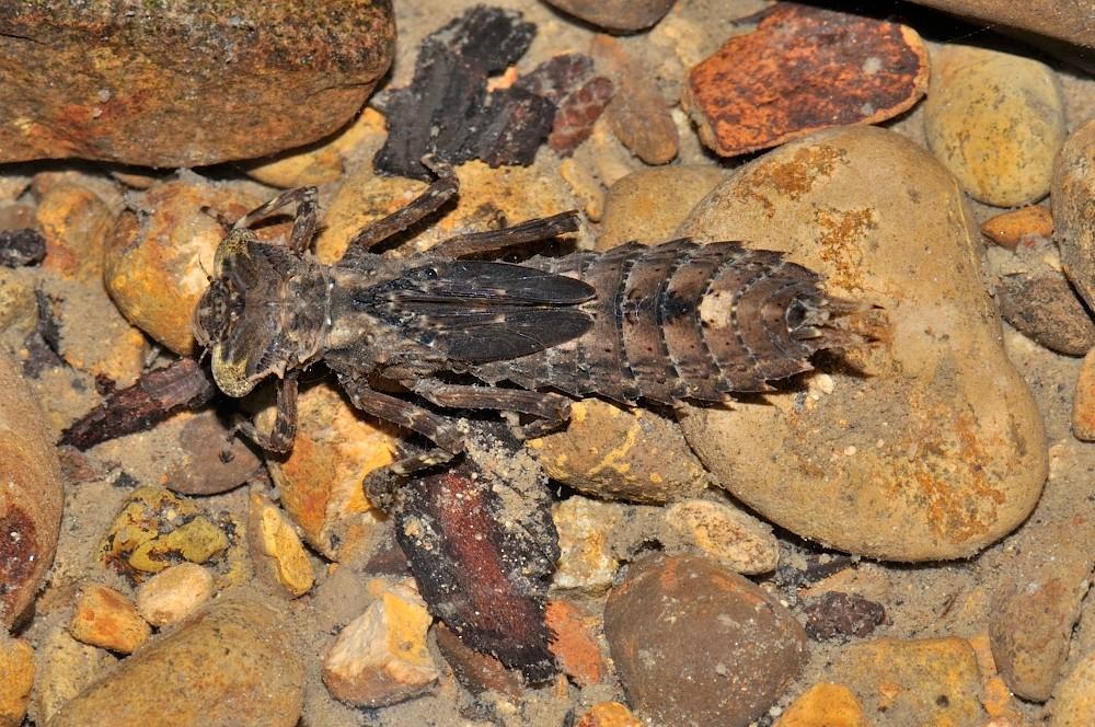 コシボソヤンマ幼虫:終齢幼虫の体長35~45mm、よく発達して目立つ側棘(腹部側面の棘)が9節から4節まであり頭の後角部が角張って突起があることで見分けられる。河川上流~中流で見られ、幼虫は草の根元などに潜んでいることが多い。能登では幼虫が流水息でよく見られる。石休場の渓流で見つかっている。