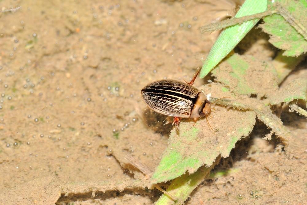 コシマゲンゴロウ:体長9~11mm。水田や溜め池に多く、特に夏期の水田では幼虫・成虫共に多く見られる。全国的な普通種とされ個体数は多いが、能登では近年目立つようになった。石休場や金蔵の水田で見られる。