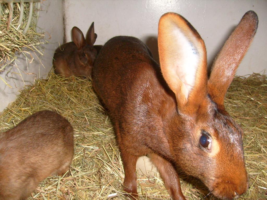 Hasenkaninchen, Züchter: Toni Pertler