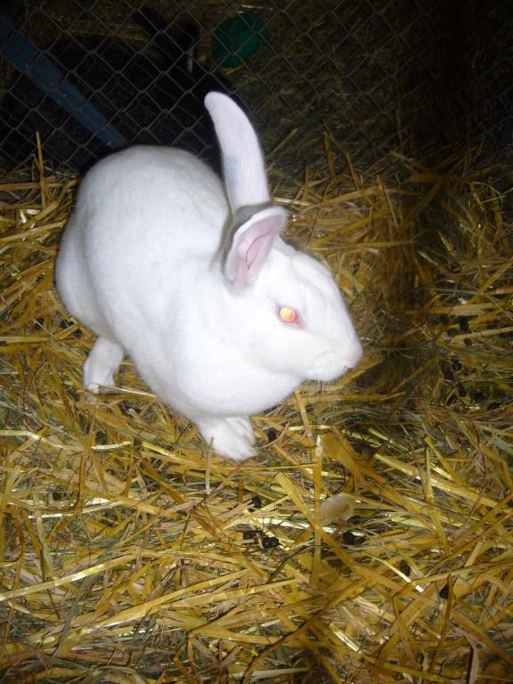Hasenkanin weiß / Züchter: Remo Doppler