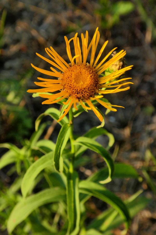 Weidenblättriger Alant (Pentanema salicinum)    RL V