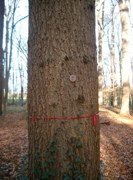 Mittelalte Eiche mit Kennzeichnung und Baumregisternummer