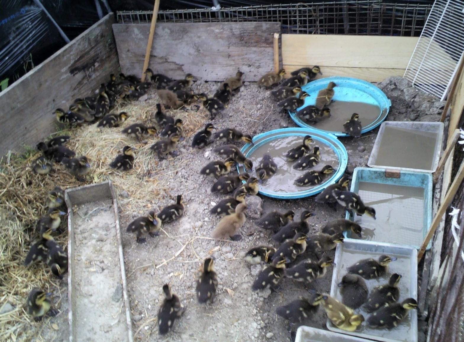 合鴨の雛たち