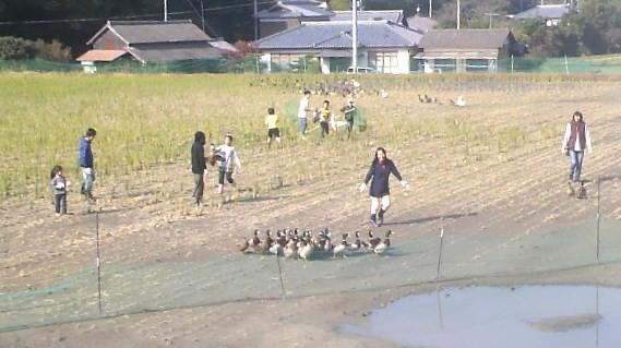 広い水田で、鴨捕まえるのも大変