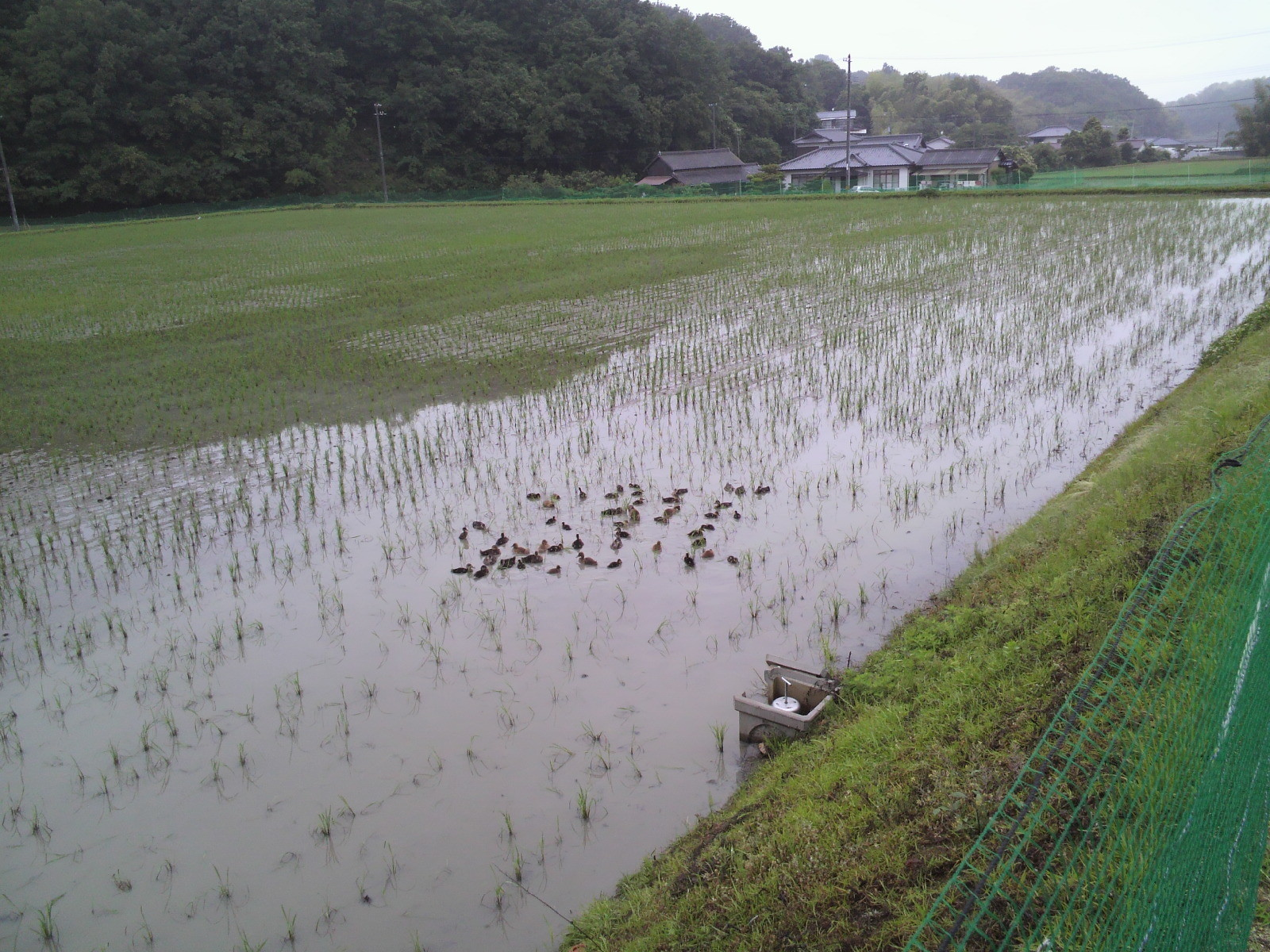 水田に放鳥