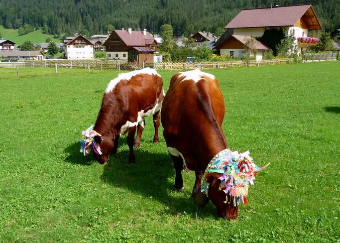 Nachbars Kühe sind immer zugegen