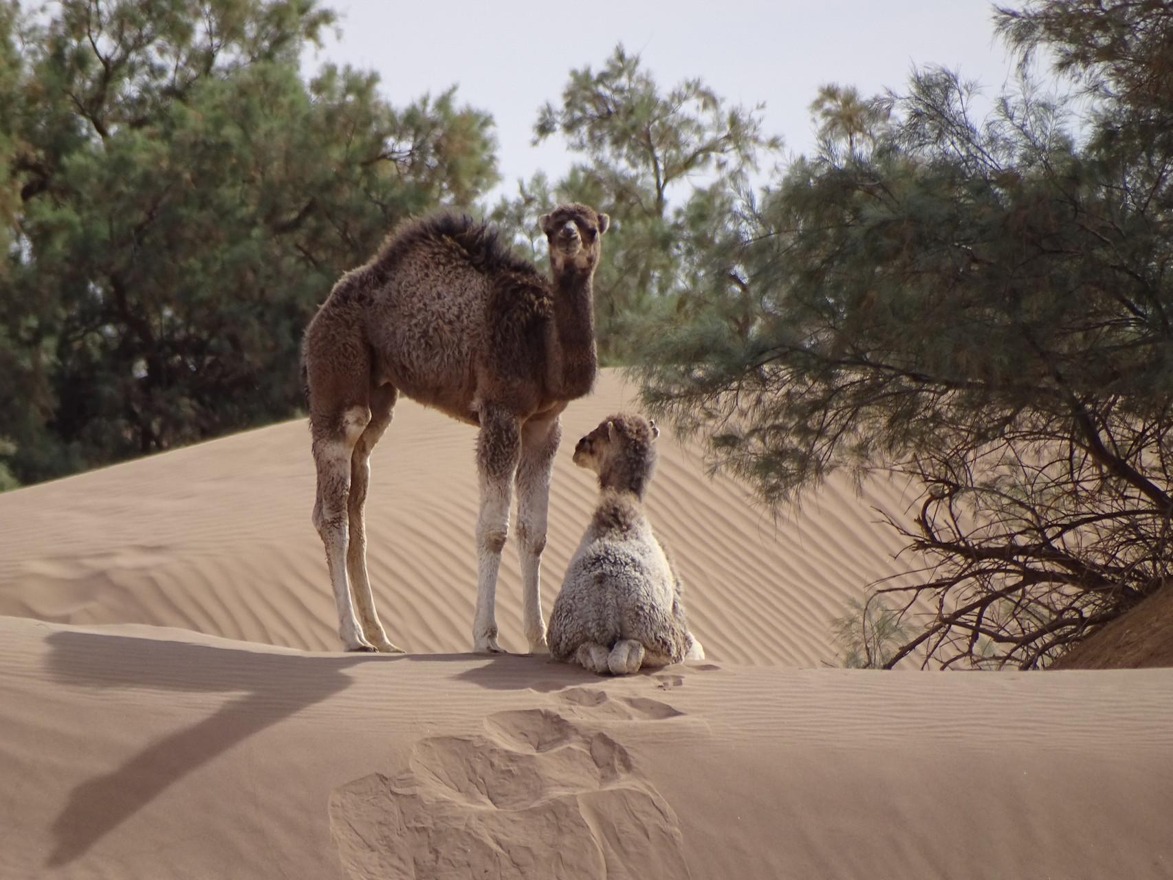 Maroc désert marche