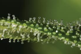 taux thc cbn cannabis hollande
