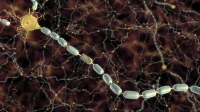 Perifere zenuw, met de myelineschede en een axon