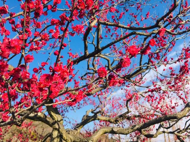 東谷山フルーツパーク_桜の名所