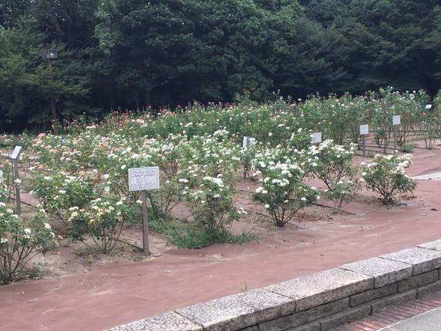 バラ園。5月・11月にバラ祭りを開催