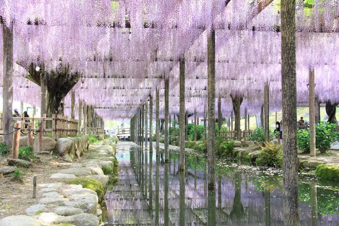 天王川公園_季節の花・植物・フジの花・藤の花