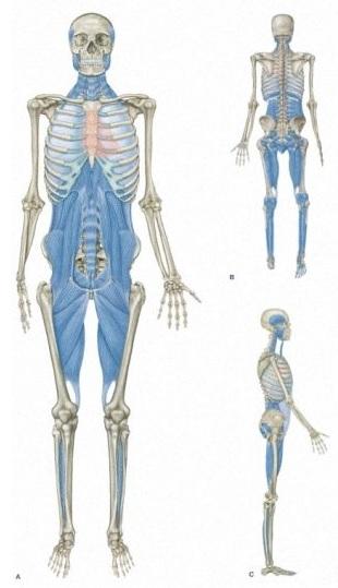 Tiefe Frontallinie (Myers, T.M., 2014, Anatomy Trains - Myofasziale Leitbahnen)