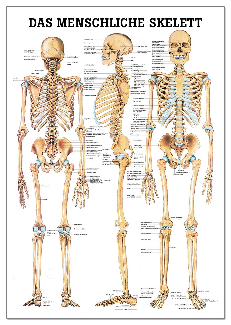 Lehrtafel, Das menschliche Skelett - SWISS Sport Shop