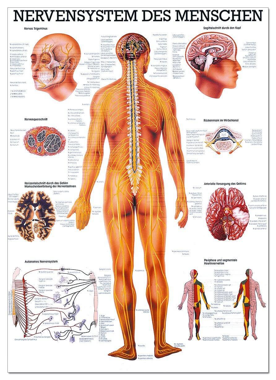 Lehrtafel, Nervensystem des Menschen - SWISS Sport Shop