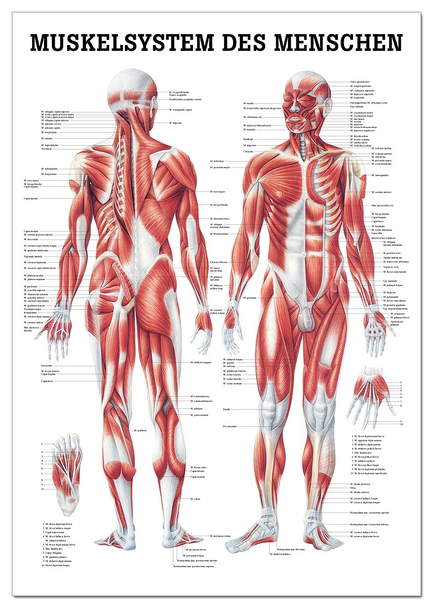 Lehrtafel, Muskelsystem des Menschen - SWISS Sport Shop