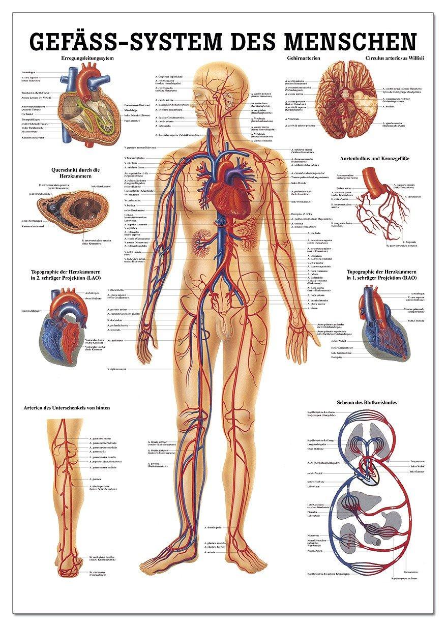 Berühmt Anatomie Der Organe Im Körper Bilder - Menschliche Anatomie ...