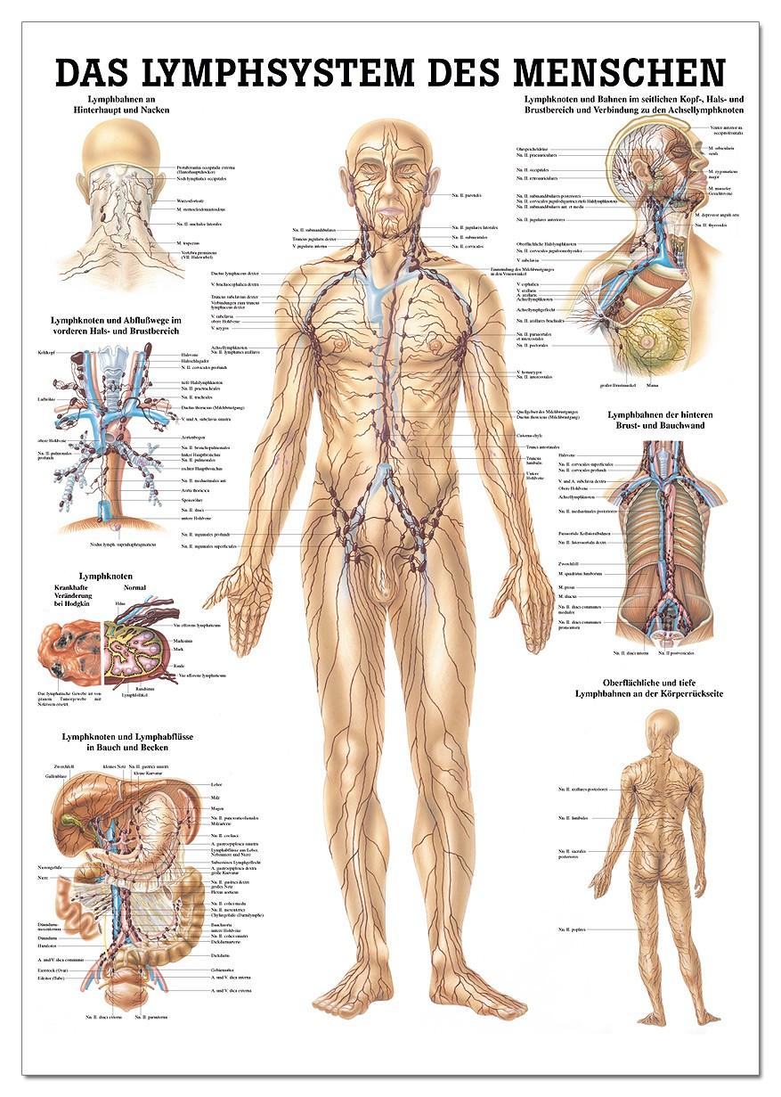 Lehrtafel, Das Lymphsystem des Menschen - SWISS Sport Shop
