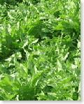使用するタンポポは契約農家のもと無農薬・無化学肥料、水は天然地下水(地下800m)を使用して栽培しています(中国山東省)