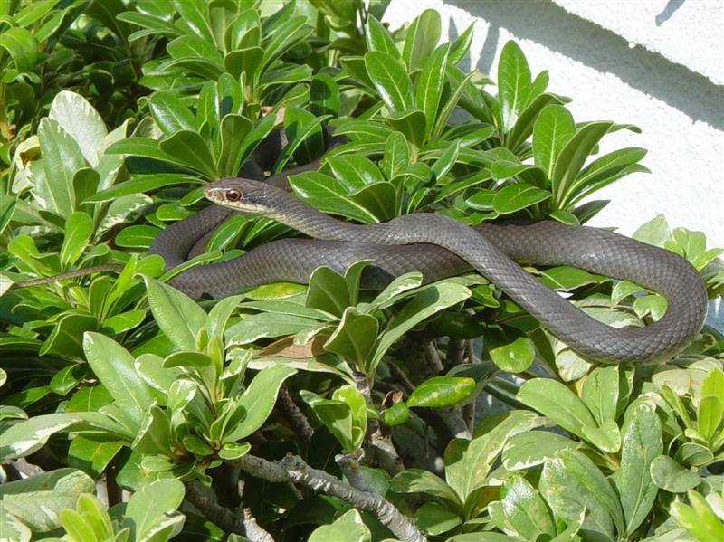 Southern Black Racer (Photo from Wikipedia)