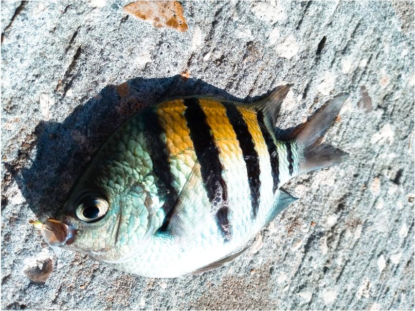 今日釣れたお魚🐠🐟