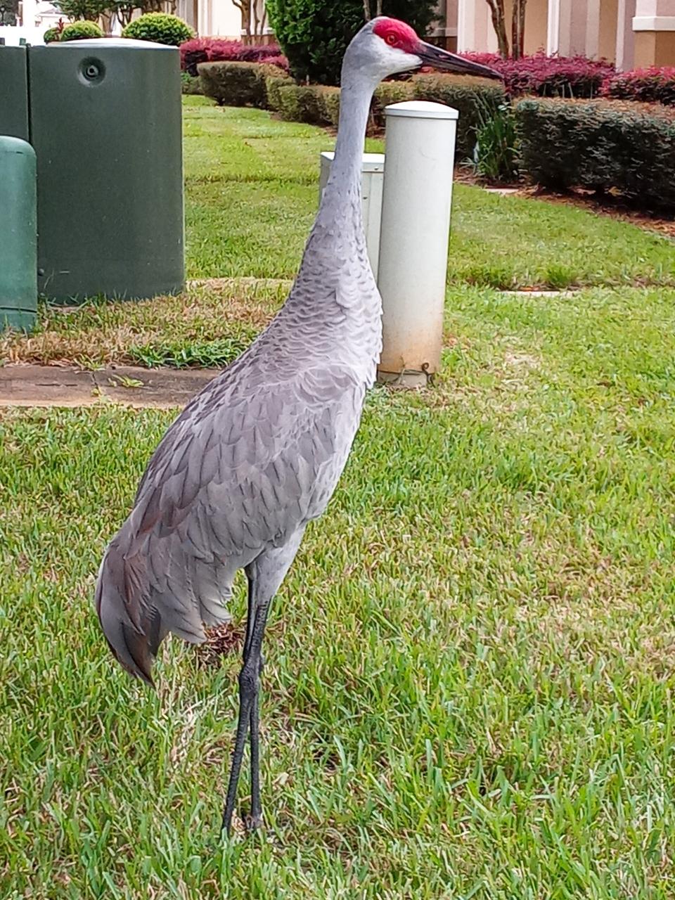 フロリダの鶴