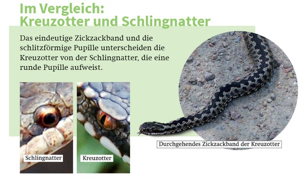 Augenbilder (links) © Sascha Schleich | Kreuzotter (rechts) © Krzystof Wesolowski