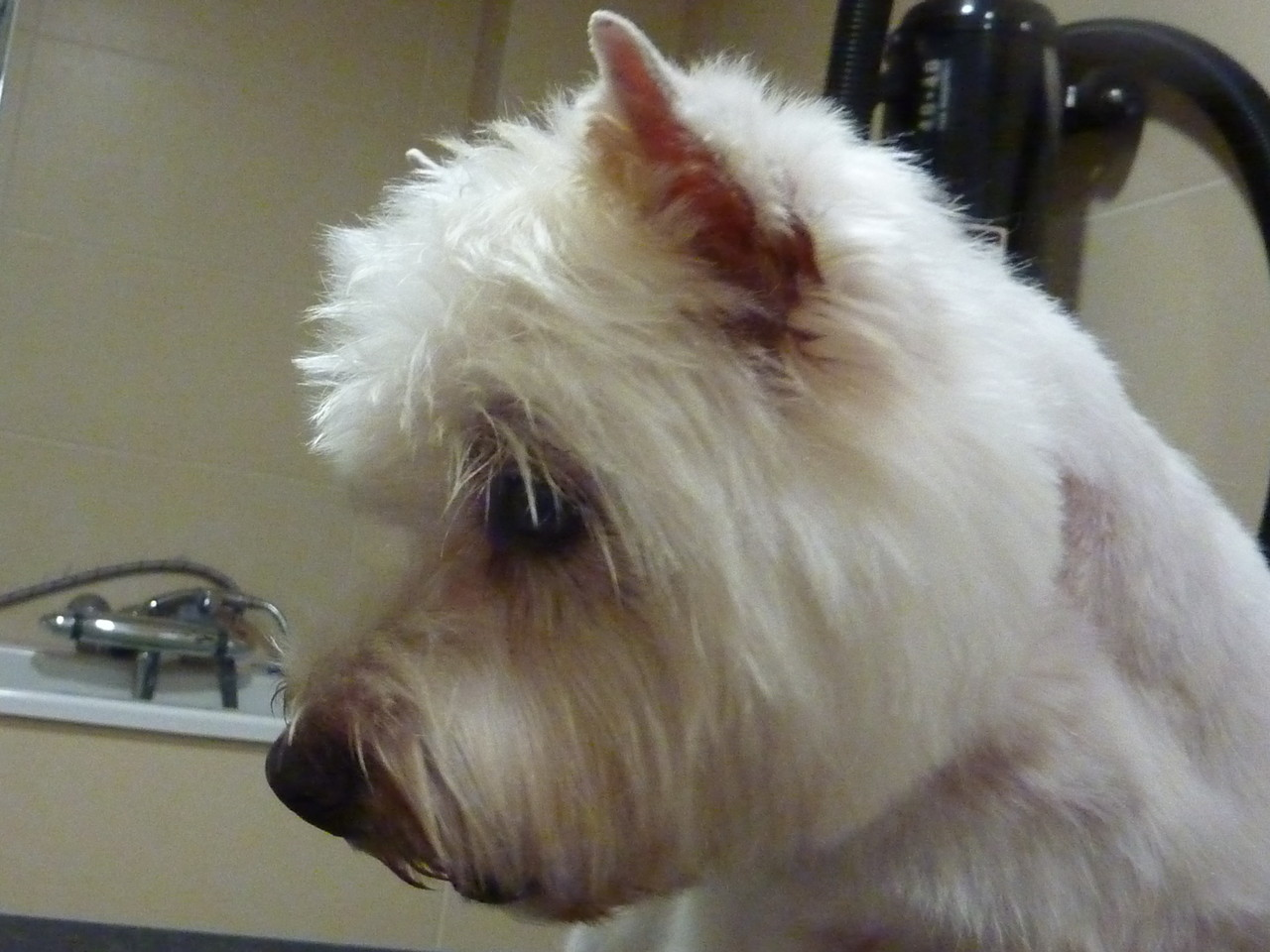 West Highland Terrier nachher