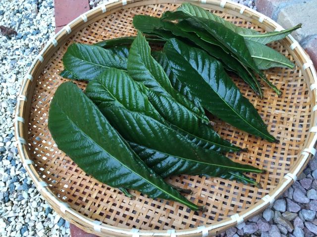 ほっとスペースKirakuで収穫したビワの葉