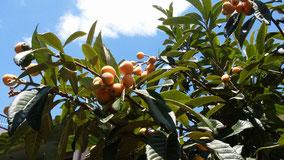無農薬のビワの樹