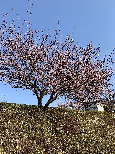 桜の花後は桜の木の剪定や枝おろし作業