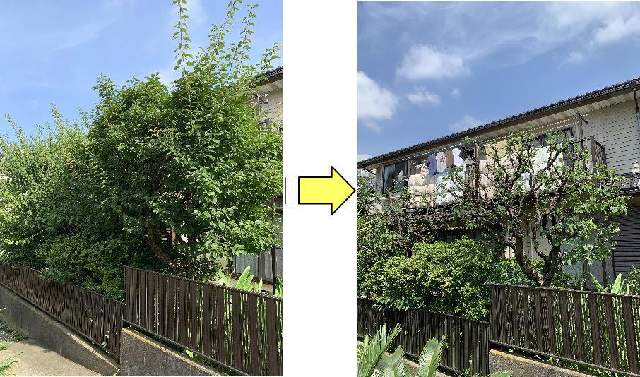 毎年ご自身で剪定されている梅の木大きくなりすぎ手に負えなくなったと剪定ご依頼