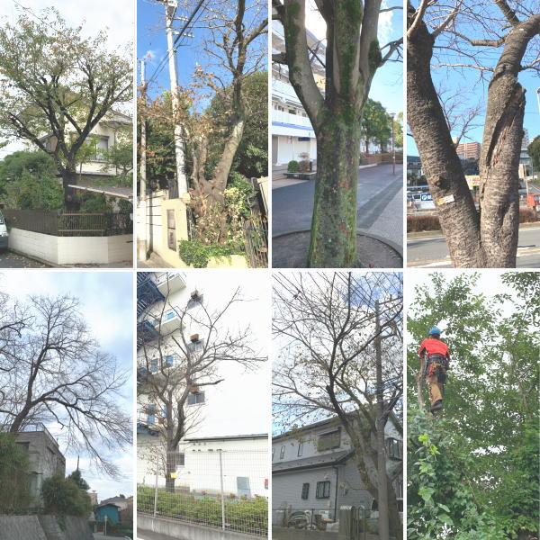 敷地内で大きく育つ桜の木の伐採や枝おろし作業など手入れ怠りなく