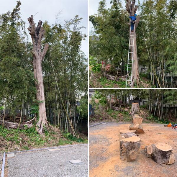ケヤキ伐採作業