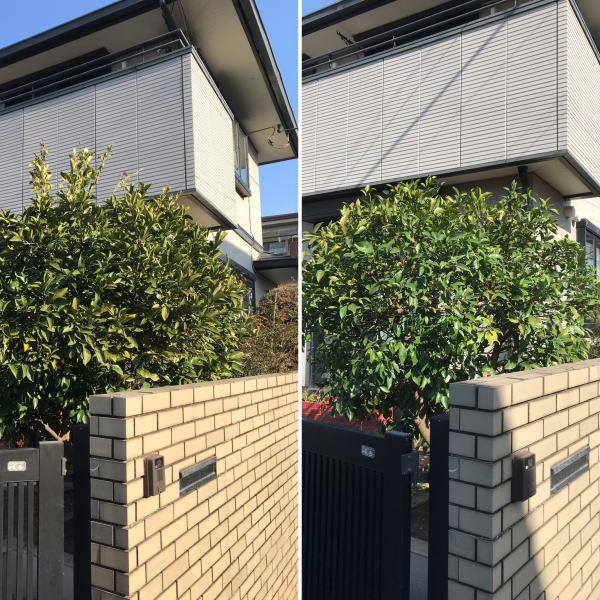 横浜市個人邸柑橘類剪定依頼