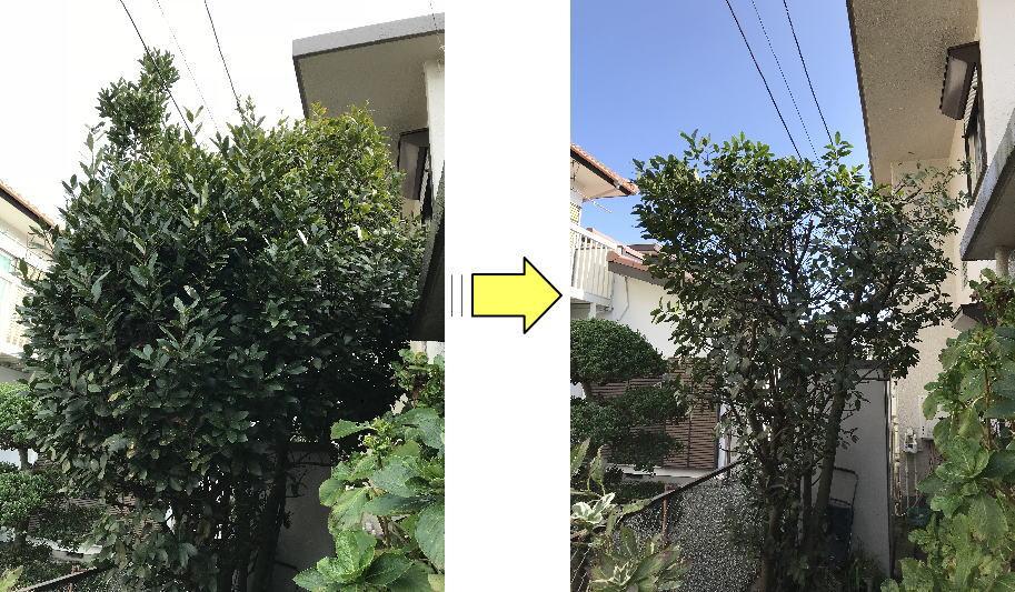 数年間放置されていた月桂樹の剪定作業依頼