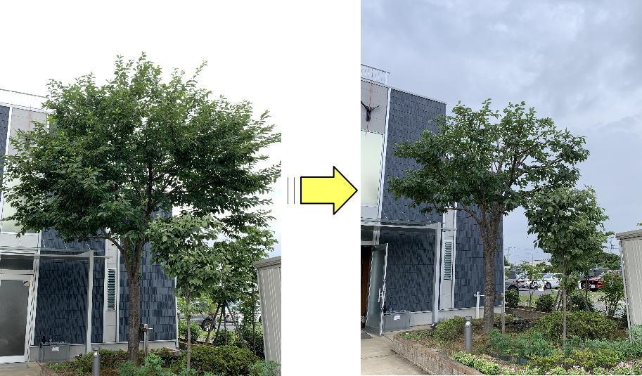 枝が伸び大きく育ってきた施設内の桜の木枝おろし作業