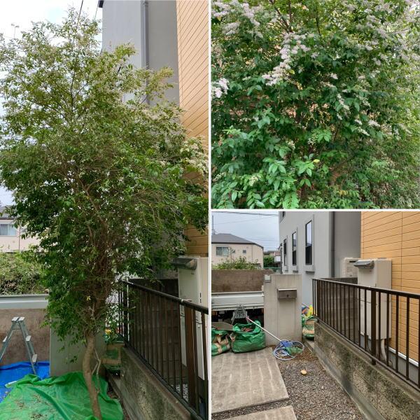 玄関アプローチに植えられているネズミモチの木伐採