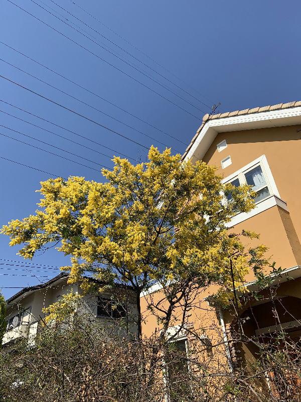 アカシアの花が花ざかり
