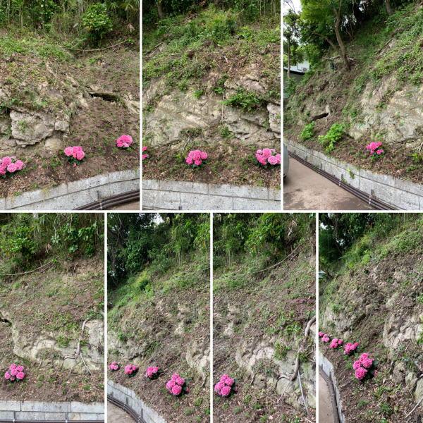 個人邸敷地斜面と崖に芝桜植え込み作業