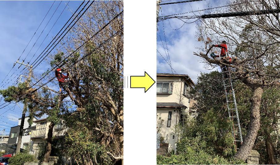 生長し背が高くなり太く長く伸びた枝は電線に絡みつき樹形が乱れた松の木伐採ご依頼