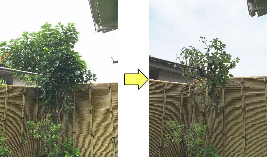 枝が伸びお隣の敷地にはみ出てしまったカクレミノ剪定作業