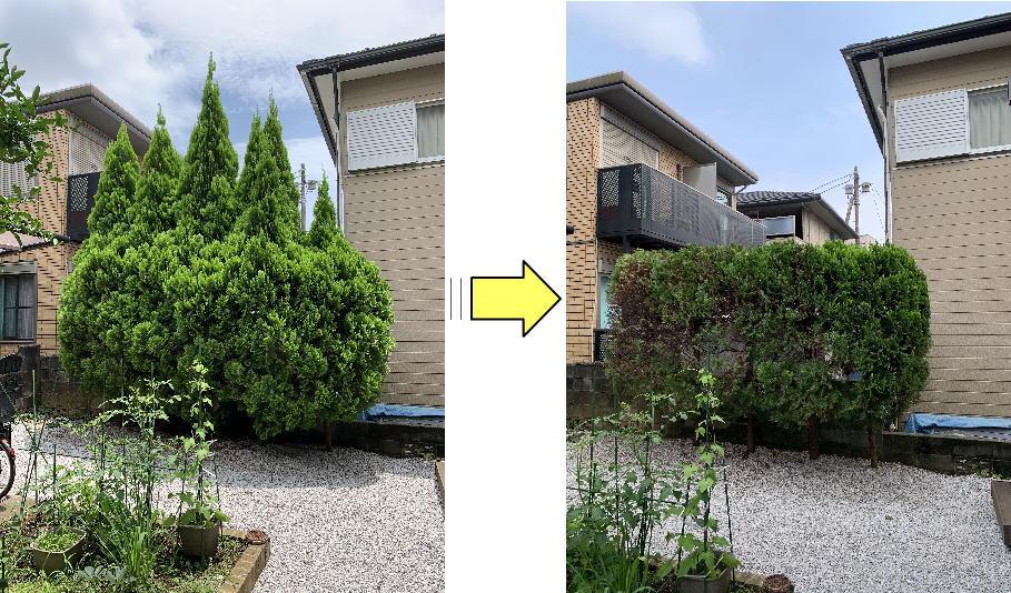 モコモコに生長したコニファーの枝おろしと剪定作業