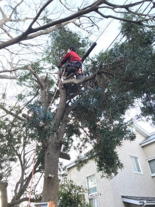 30メートル級の高木でもロープワークで特殊伐採