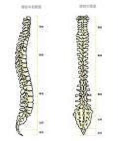 しんそう福井武生では、このような背骨の形になるよう手足のバランスから調整しています。
