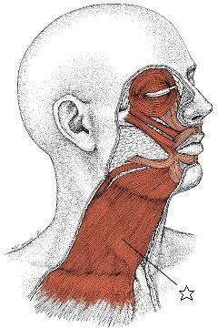 しんそう福井武生で施術すると、広頸筋のバランスも良くなり、猫背、座骨神経痛なども改善します。