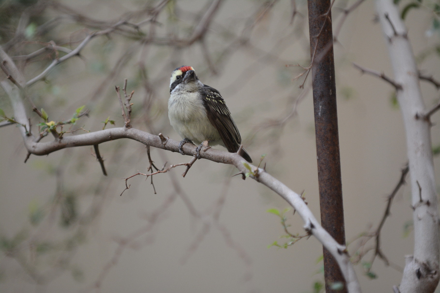 Diadembartvogel